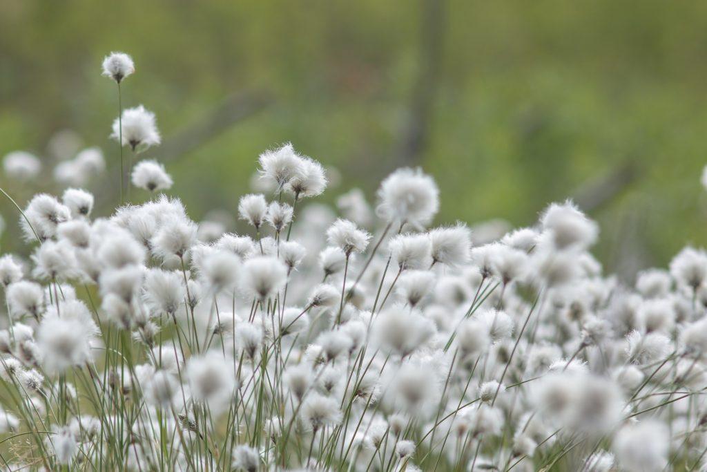 昆虫を使った害虫の除去など農薬を一切使用せずに生産されるたオーガニックコットン