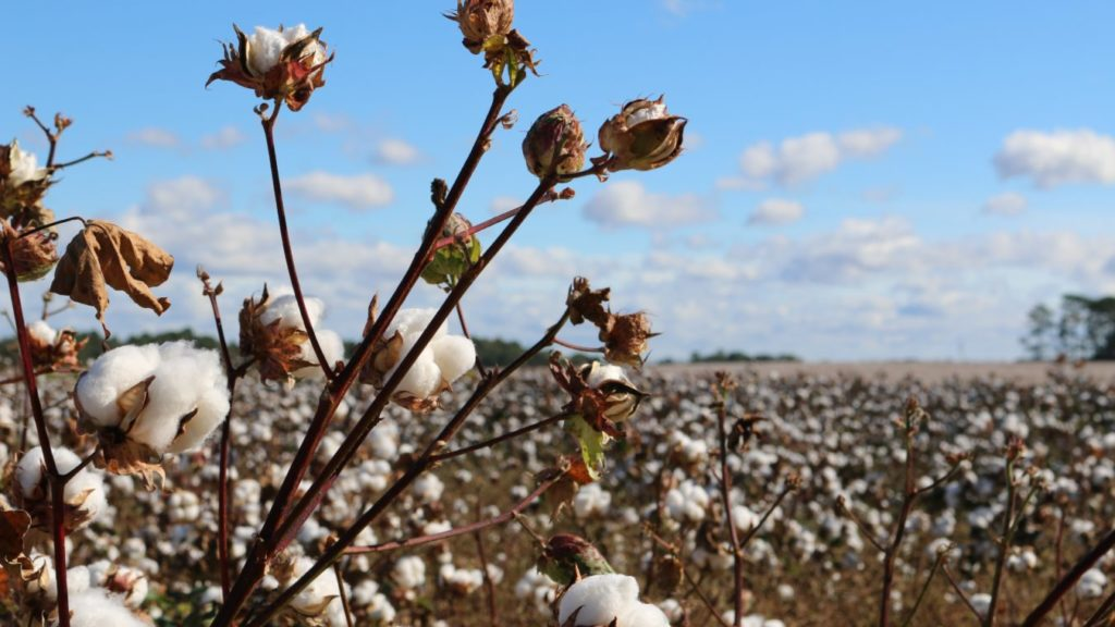 オーガニックコットンは生産地の環境を守る